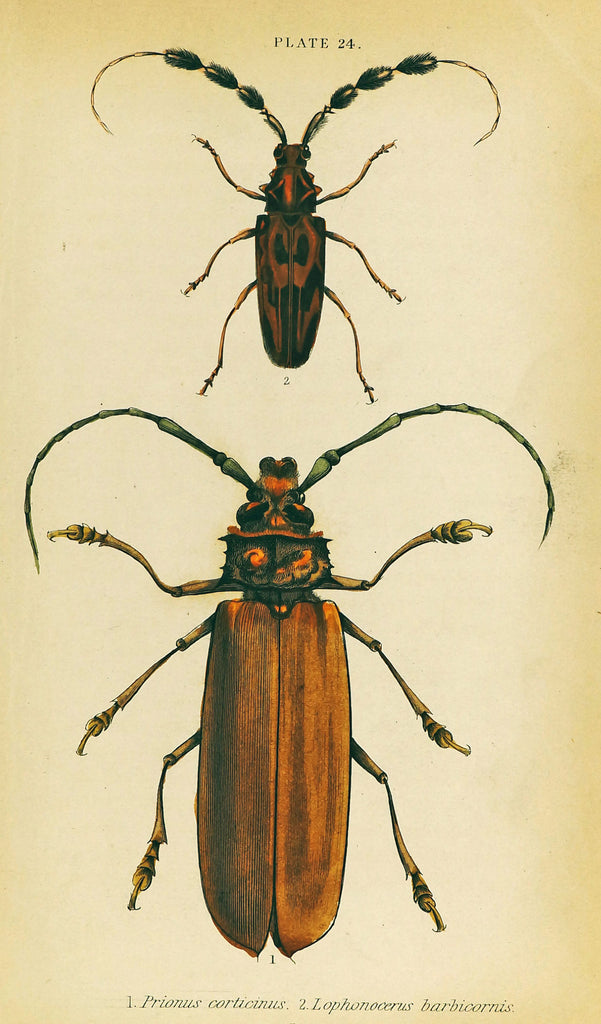 Prionus Longhorn Beetles, Hand Colored Antique Print (1835) - Original and Authentic Vintage Poster
