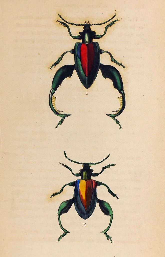 Sagra Buqueti Beetles, Hand-Colored Antique Print (1835) - Original and Authentic Vintage Poster