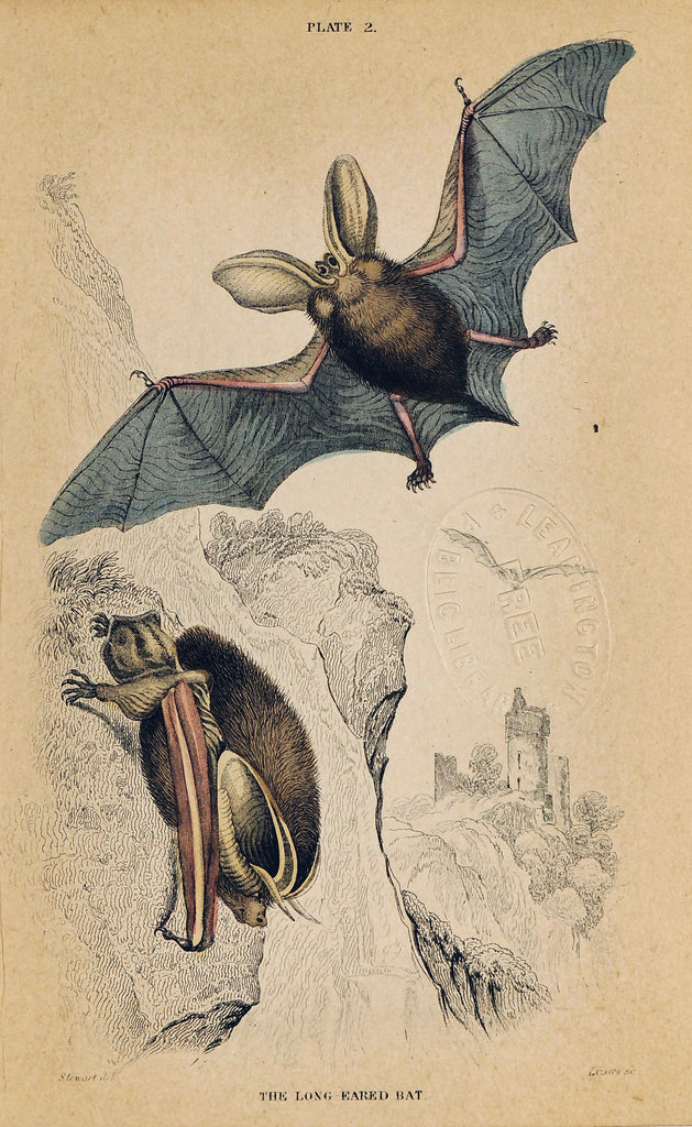 Long-Eared Bat, Hand-Colored Antique Print (1840) - Original and Authentic Vintage Poster
