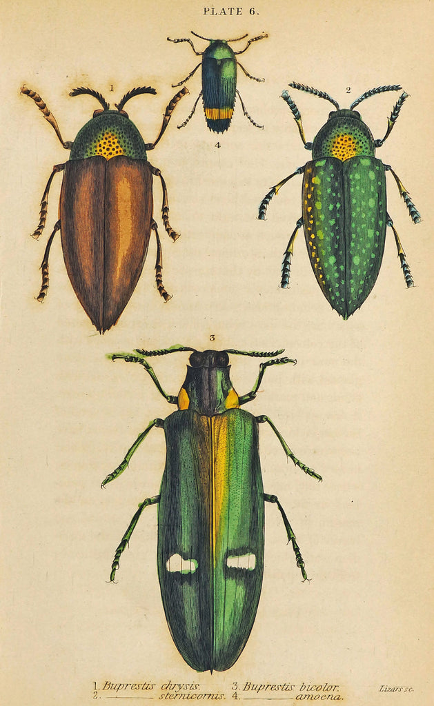 Jewel Buprestis Beetles, Hand Colored Engraving (1835) - Original and Authentic Vintage Poster