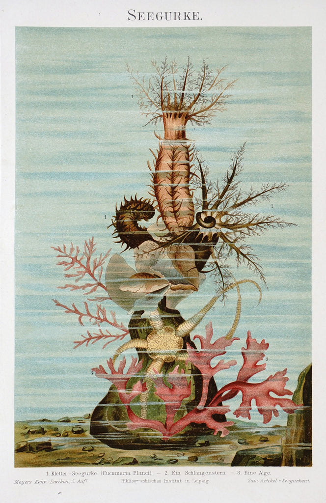 Marine Starfish Sea Cucumber Antique Chromolithograph Print (1895) - Original and Authentic Vintage Poster