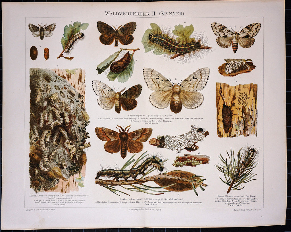 Forest Butterfly, Antique Chromolithograph Print (1895) - Original and Authentic Vintage Poster