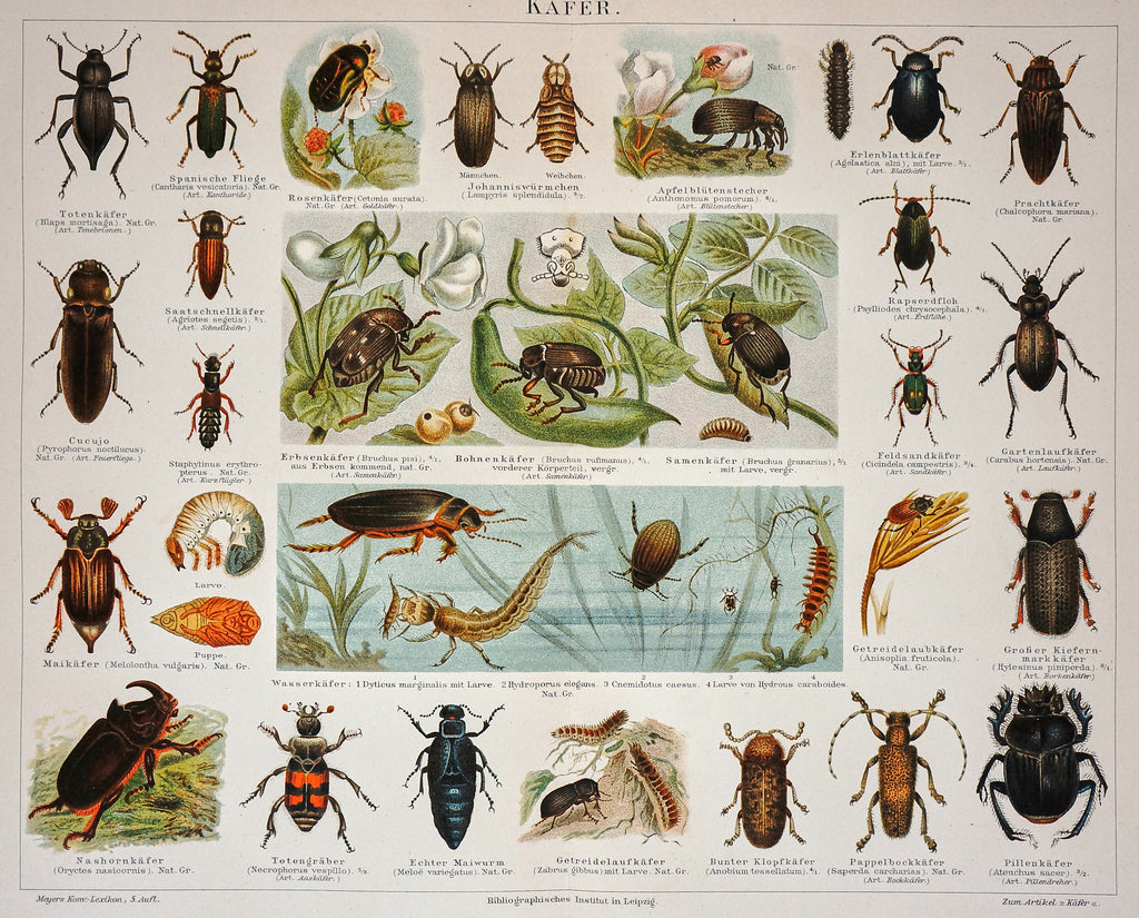Beetles Antique Chromolithograph Print (1895) - Original and Authentic Vintage Poster
