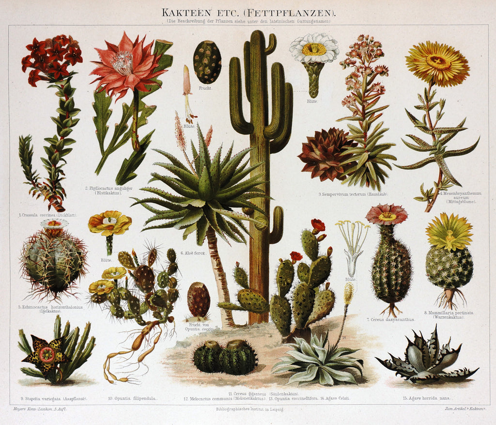 Cactus Flowers Antique Chromolithograph (1895) - Original and Authentic Vintage Poster
