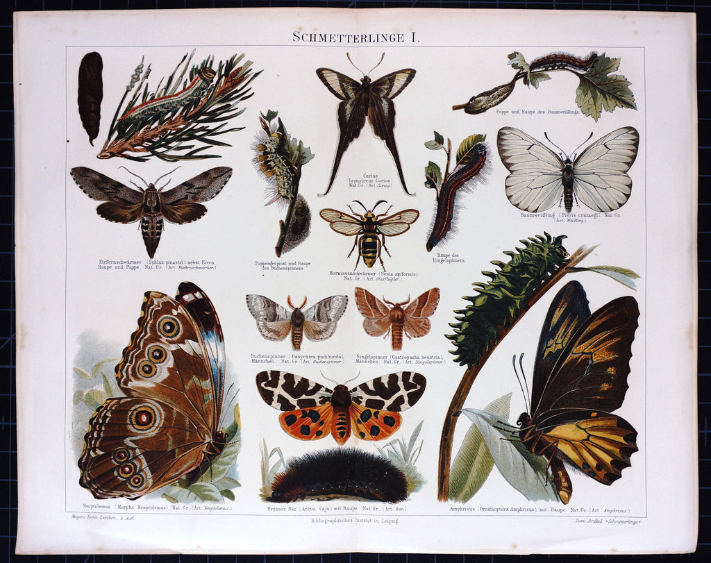 Butterfly, Moth, Antique Chromolithograph (1895) - Original and Authentic Vintage Poster