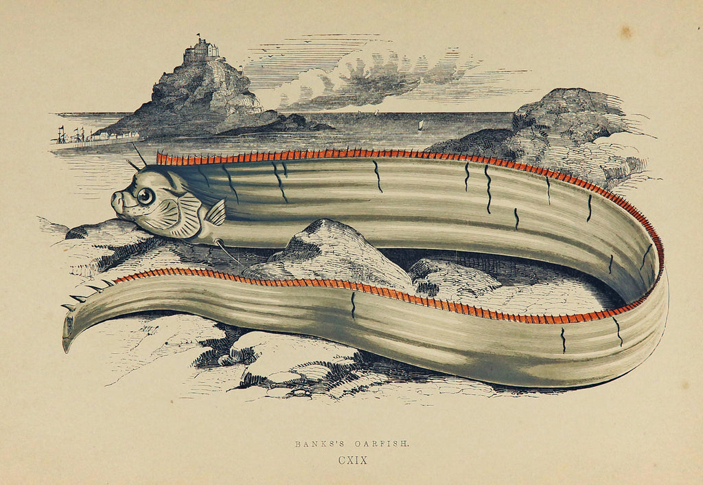 Bank's Oarfish Antique Print, Jonathan Couch (1877) - Original and Authentic Vintage Poster