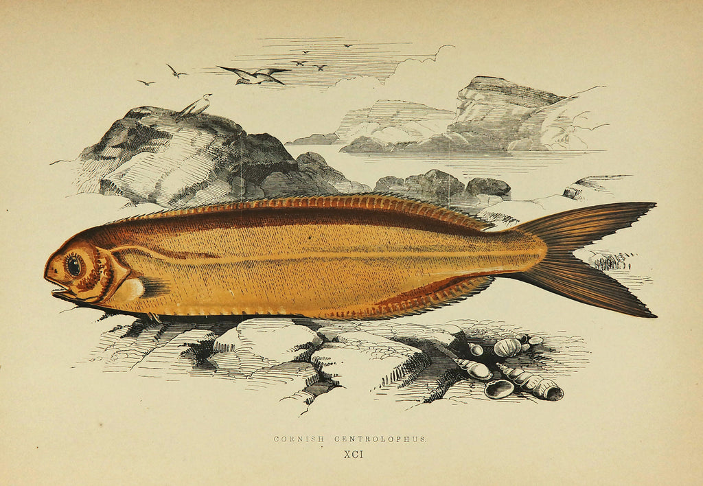 Cornish Centrolophus Antique Print, Jonathan Couch (1877) - Original and Authentic Vintage Poster