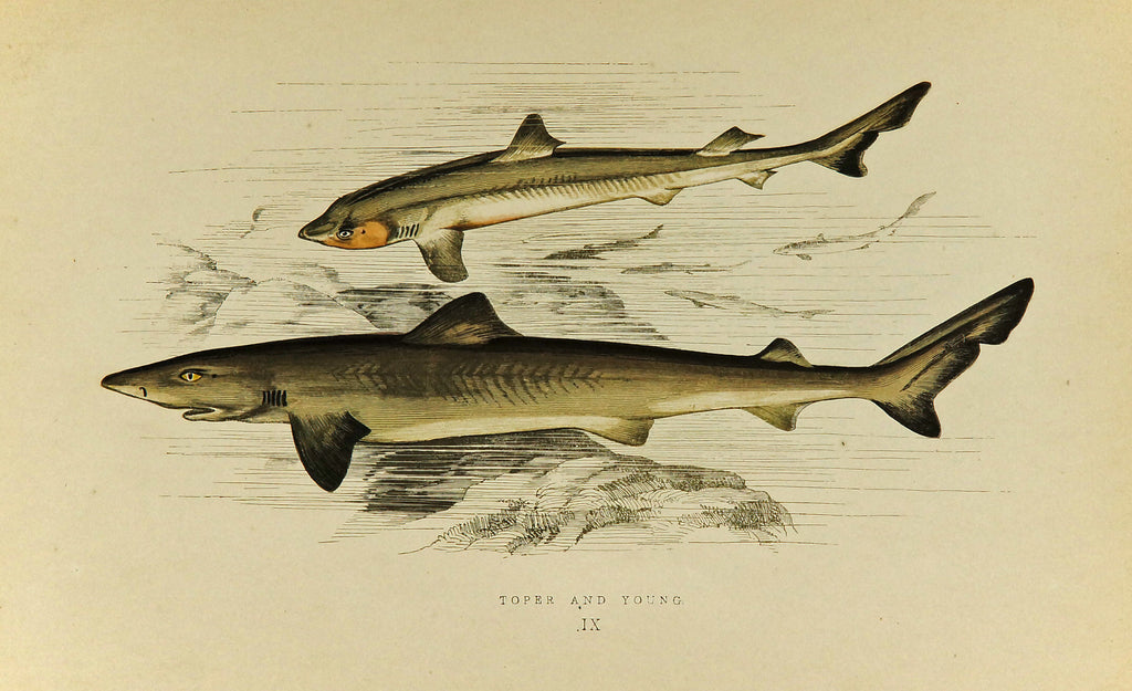 Toper and Young Fish Antique Print, Jonathan Couch (1877) - Original and Authentic Vintage Poster