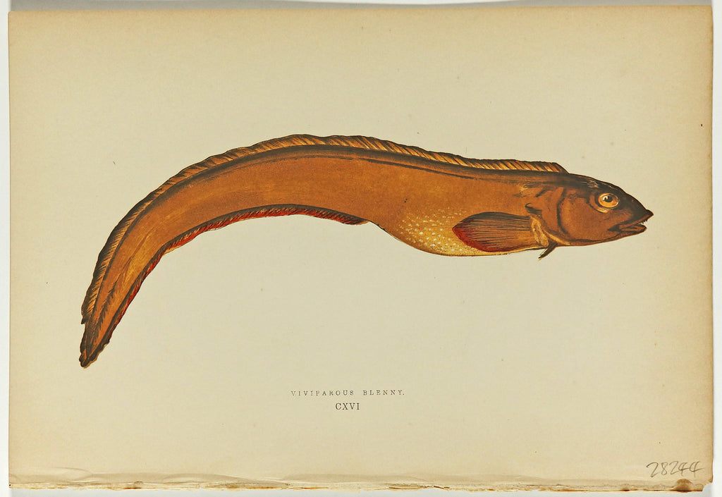 Viviparpus Blenny Fish Antique Print, Jonathan Couch (1877) - Original and Authentic Vintage Poster