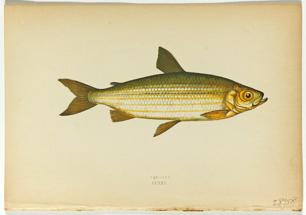 Vendace Fish Antique Print, Jonathan Couch (1877) - Original and Authentic Vintage Poster