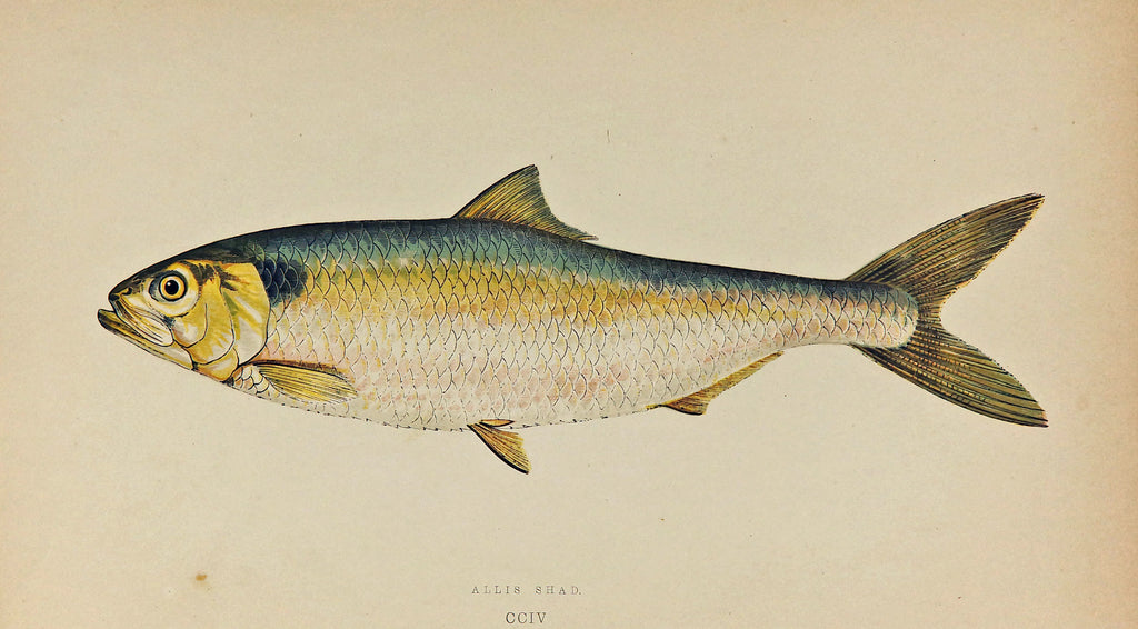 Allis Shad Fish Antique Print, Jonathan Couch (1877) - Original and Authentic Vintage Poster