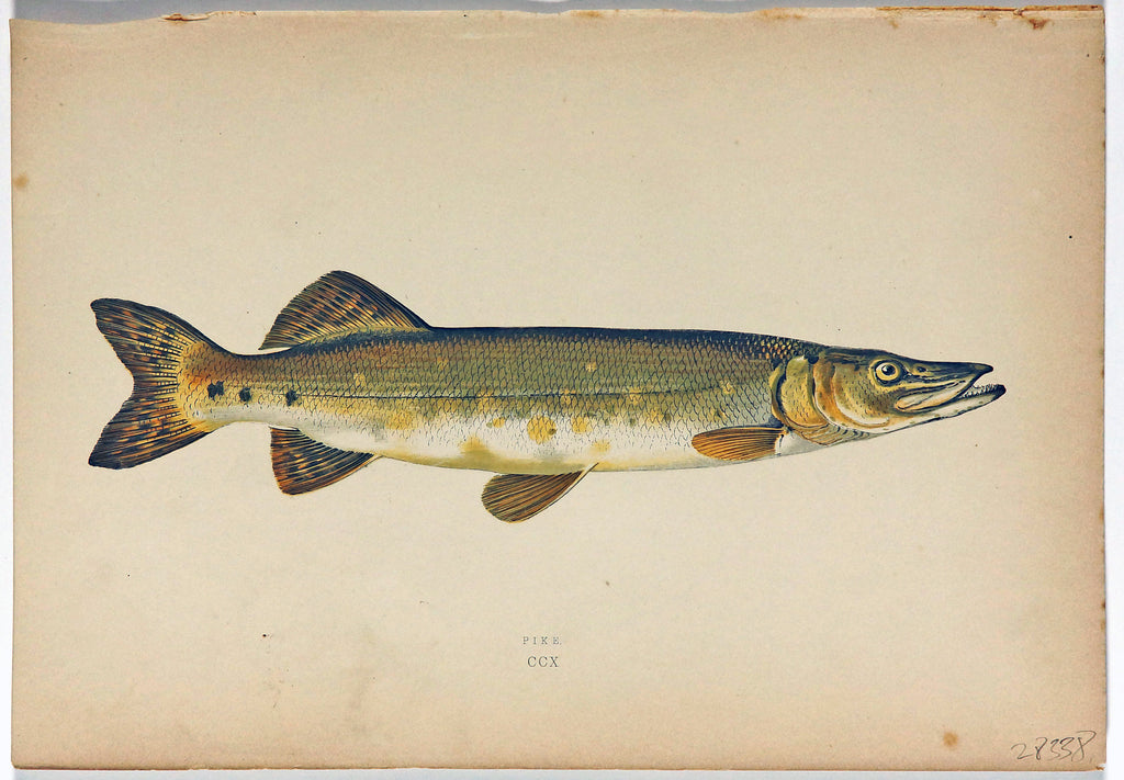 Pike Fish Antique Print, Jonathan Couch (1877) - Original and Authentic Vintage Poster