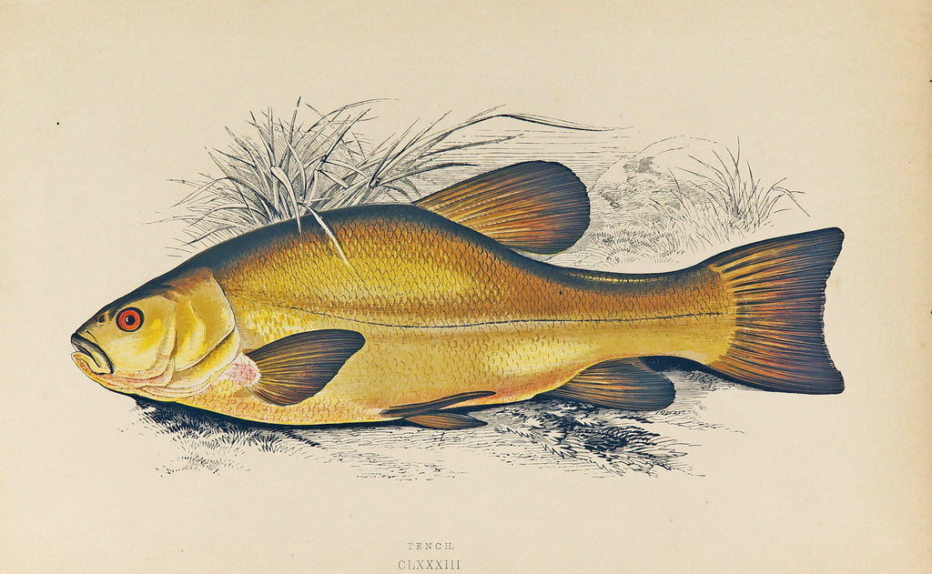 Tench Fish Antique Print, Jonathan Couch (1877) - Original and Authentic Vintage Poster