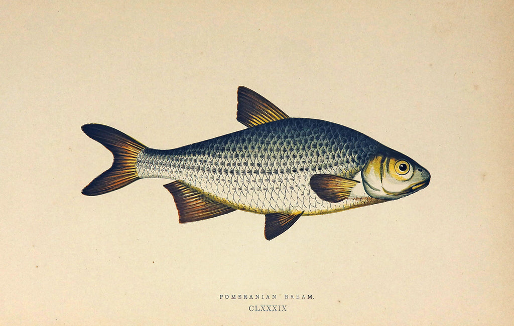 Pomeranian Bream Fish Antique Print, Jonathan Couch (1877) - Original and Authentic Vintage Poster
