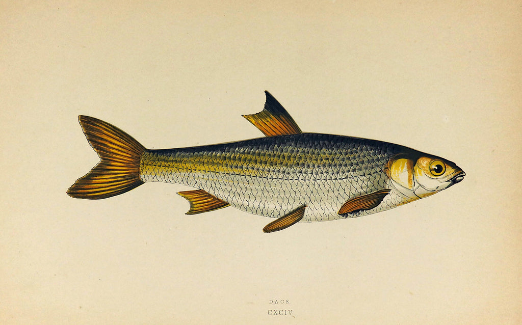 Dace Fish Antique Print, Jonathan Couch (1877) - Original and Authentic Vintage Poster