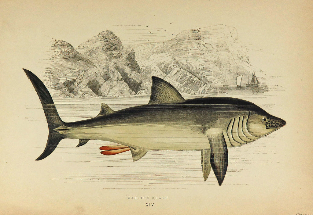 Basking Shark Antique Print, Jonathan Couch (1877) - Original and Authentic Vintage Poster