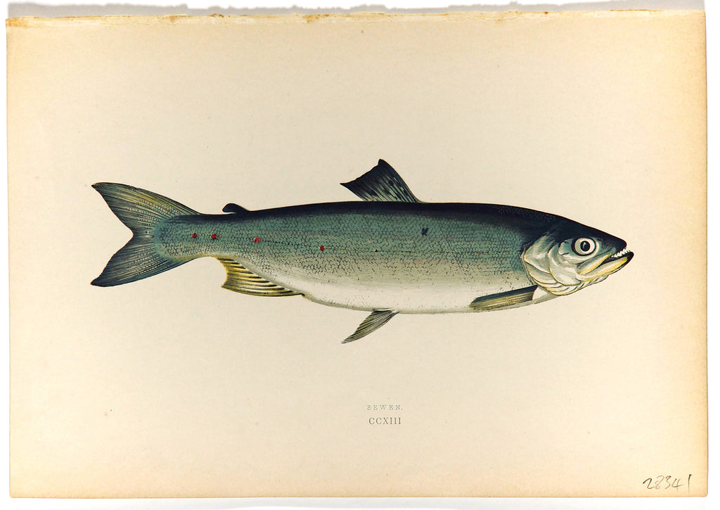 Sewen Fish Antique Print, Jonathan Couch (1877) - Original and Authentic Vintage Poster
