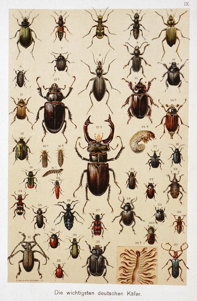Beetles Antique Chromolithograph (1890) - Original and Authentic Vintage Poster