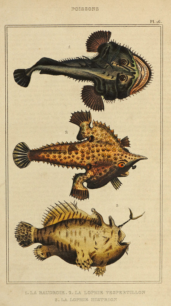 Angler Monkfish & Frog Fish, Hand Colored Engraving (1844) - Original and Authentic Vintage Poster