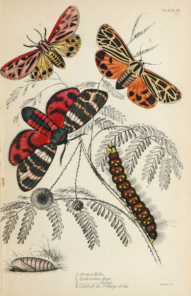 Hebe Tiger Moth, Caterpillar, Hand Colored Antique Engraving (1852) - Original and Authentic Vintage Poster