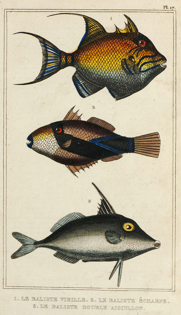 Reef Triggerfish, Exotic Fishes, Hand Colored  Steel Engraving (1844) - Original and Authentic Vintage Poster
