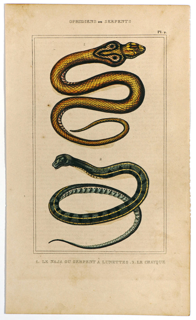 Naja Cobra, Colubrid Snakes, Hand Colored Antique Engraving (1844) - Original and Authentic Vintage Poster