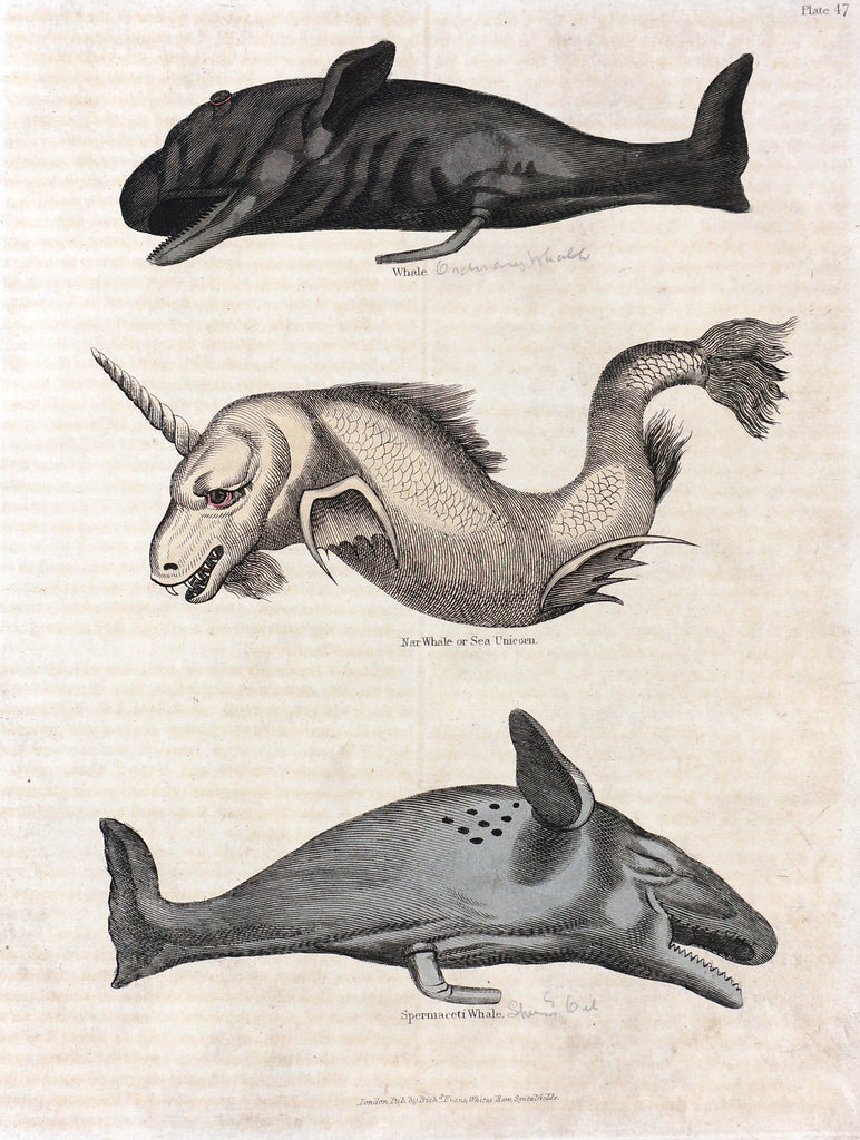 Sperm Whale, Sea Unicorn Hand colored Engraving (1834) - Original and Authentic Vintage Poster