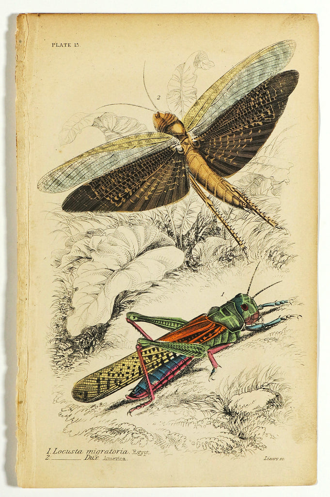 Locusts Hand Colored Engraving (1836) - Original and Authentic Vintage Poster
