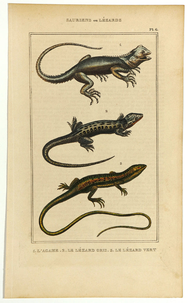 Agama, Green & Gray Lizards Hand Colored Engraving (1844) - Original and Authentic Vintage Poster