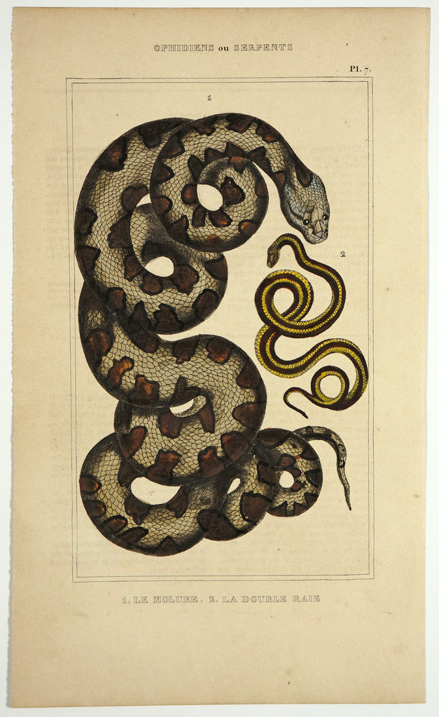 Indian Molurus Python & Lined Snakes, Hand Colored Engraving (1844) - Original and Authentic Vintage Poster