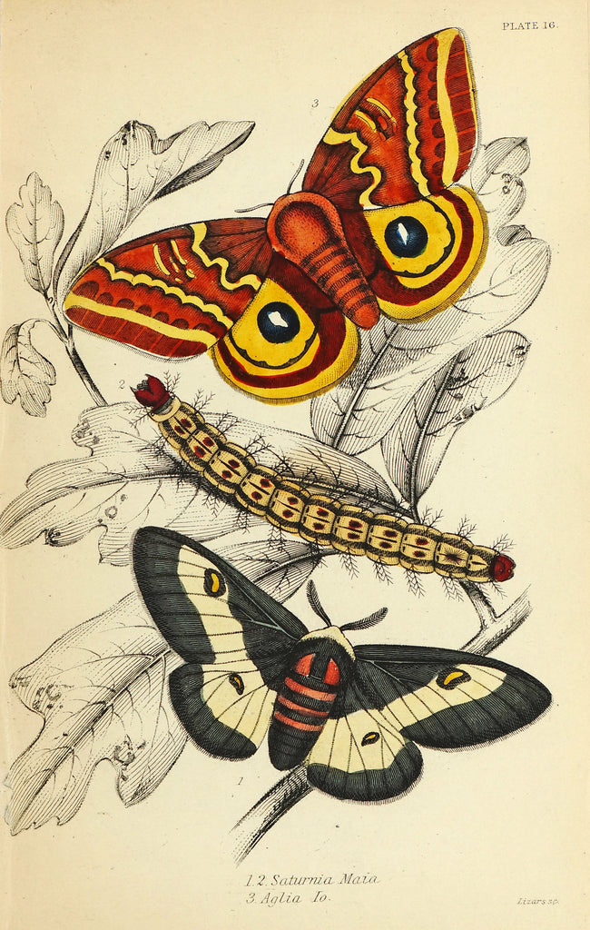 Exotic Moths Antique Hand Colored Engraving (1852) - Original and Authentic Vintage Poster