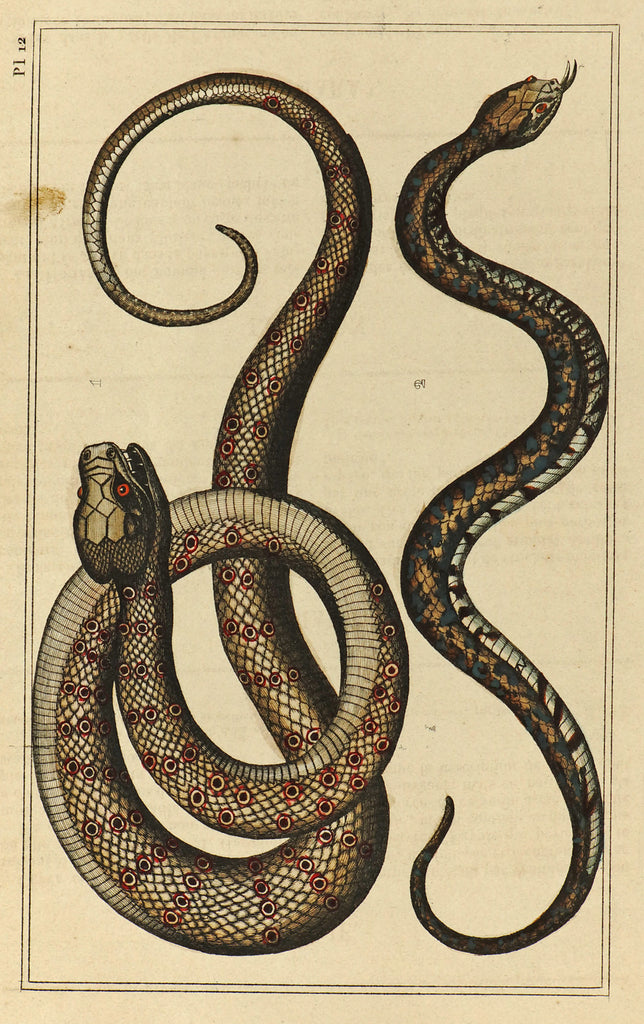 Pit Viper & Sibon Snakes, Hand Colored Antique Print (1844) - Original and Authentic Vintage Poster