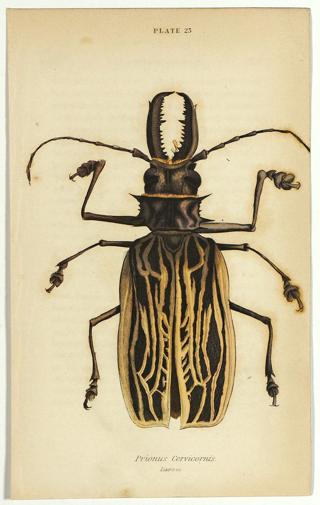 Sabertooth Longhorn Beetle, Hand Colored Engraving (1835) - Original and Authentic Vintage Poster