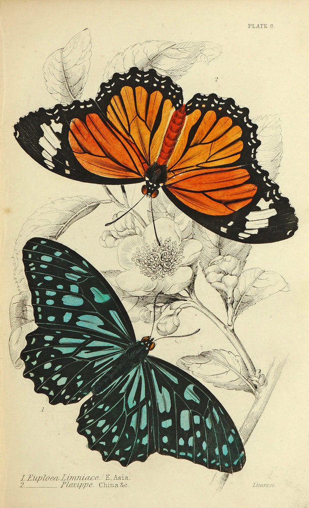 Exotic Butterflies, Antique Engraving (1837) - Original and Authentic Vintage Poster
