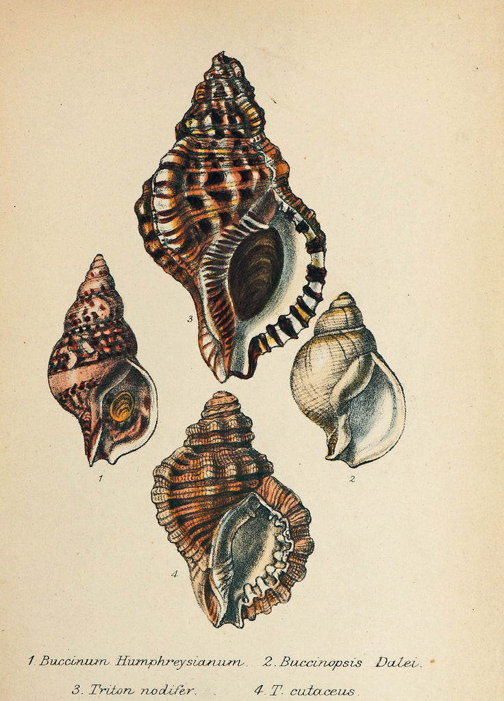 Sea Shells, Hand Colored Lithograph (1869) - Authentic Vintage Posters