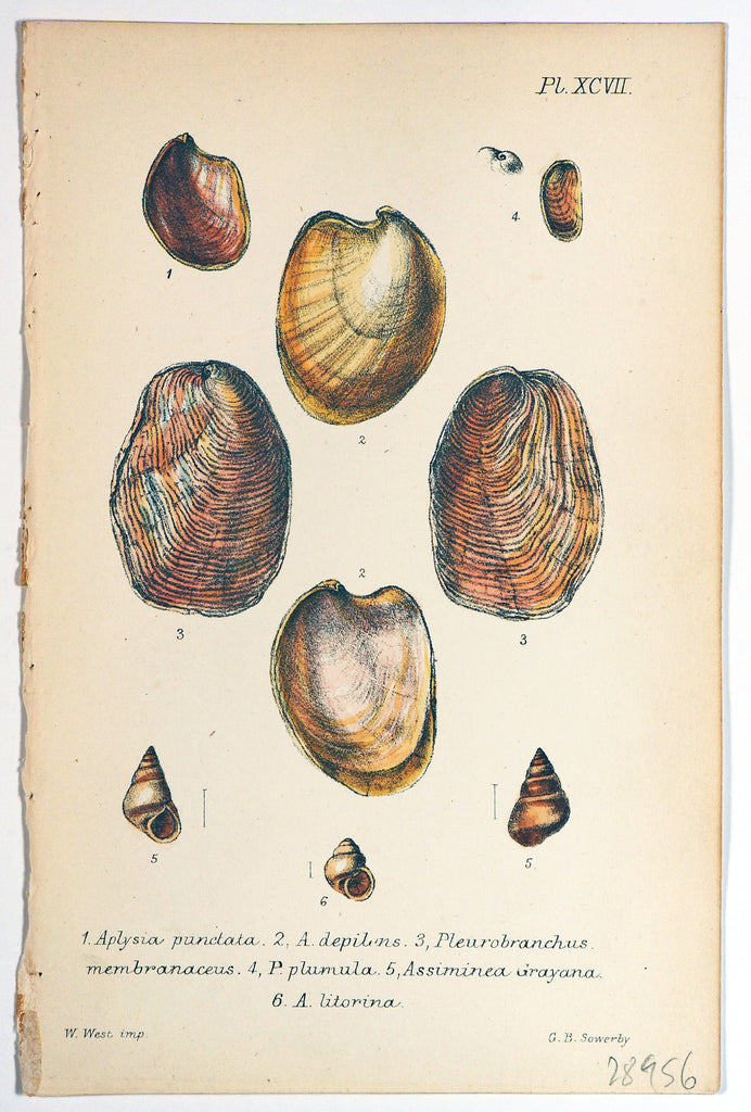 Sea Shells, Hand Colored Lithograph (1869) - Original and Authentic Vintage Poster