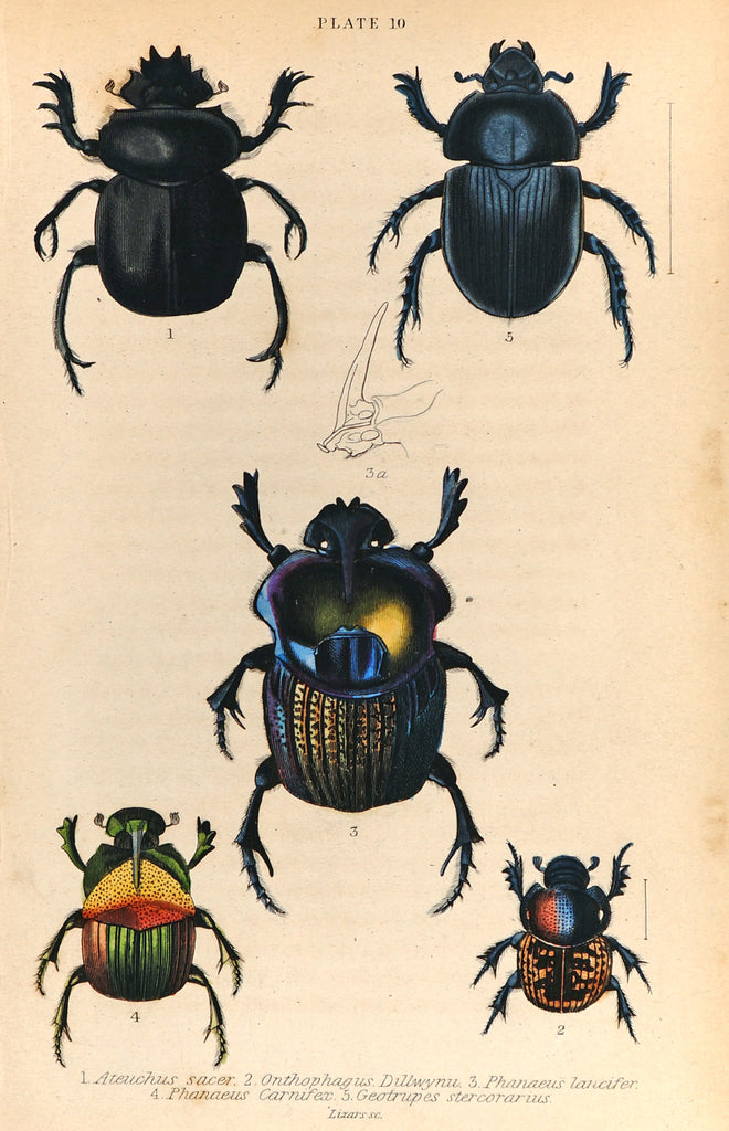Scarab Beetles, Coleoptera, Hand Colored Antique Print (1835) - Original and Authentic Vintage Poster