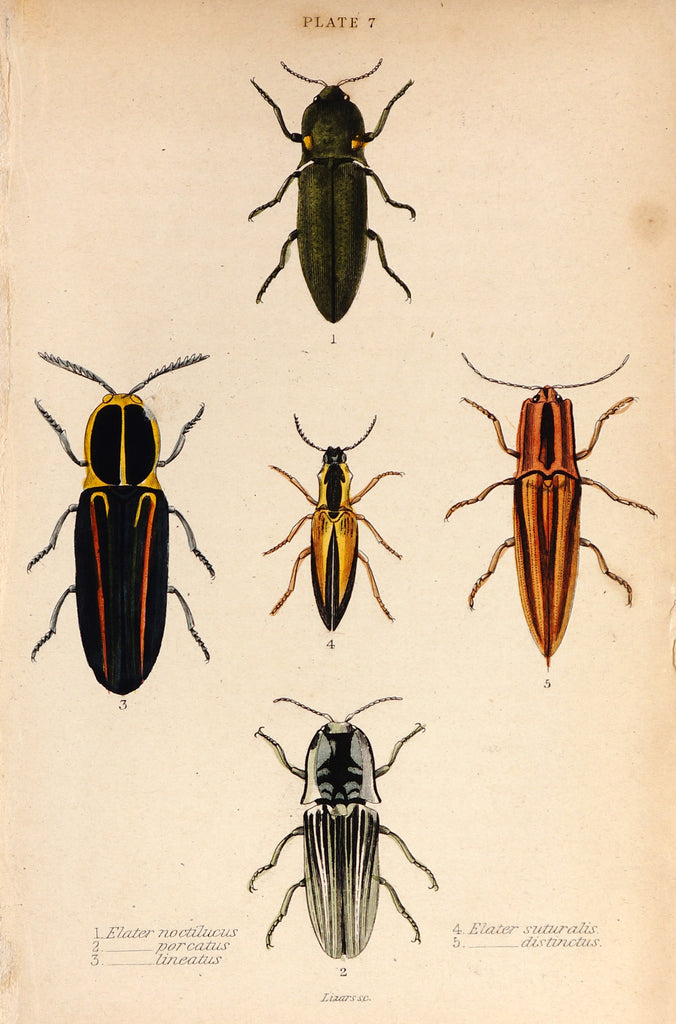 Beetles, Hand Colored Engraving (1835) - Original and Authentic Vintage Poster