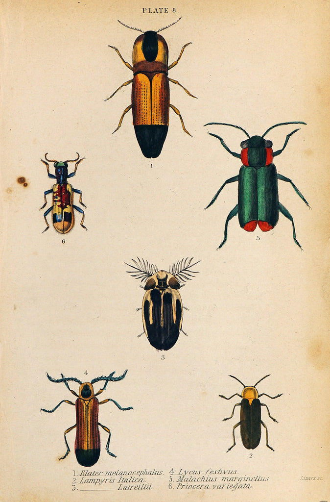 Elater, Lampyris, Lycus, Malachius Beetles Hand Colored Engraving (1835) - Original and Authentic Vintage Poster