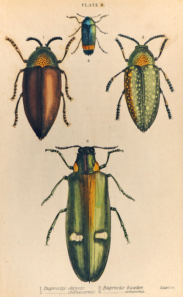 Buprestis Beetle Hand Colored Engraving (1835) - Authentic Vintage Posters