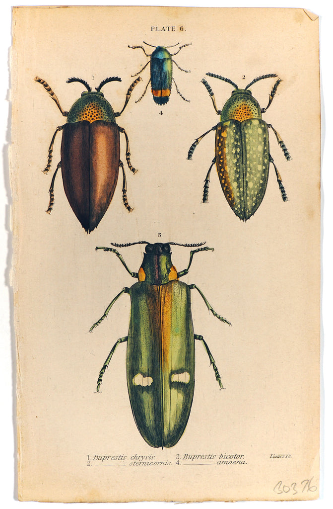 Buprestis Beetle Hand Colored Engraving (1835) - Original and Authentic Vintage Poster