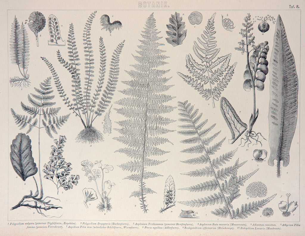 Botany Ferns, Antique Engraving (1870) - Original and Authentic Vintage Poster