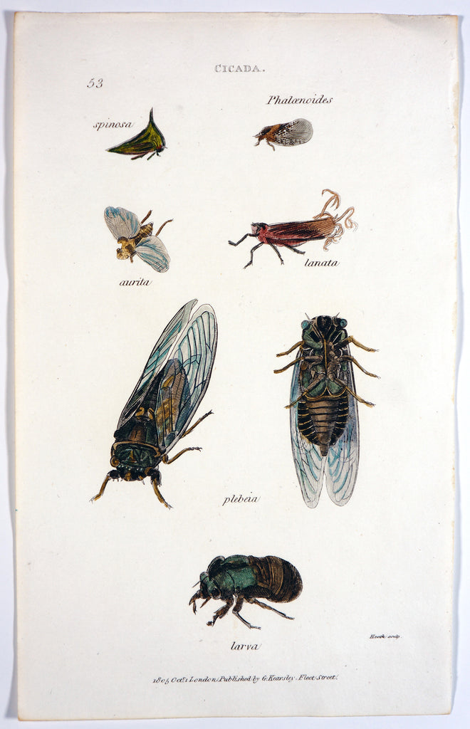 Cicada Beetles, Hand Colored Engraving (1805) - Original and Authentic Vintage Poster
