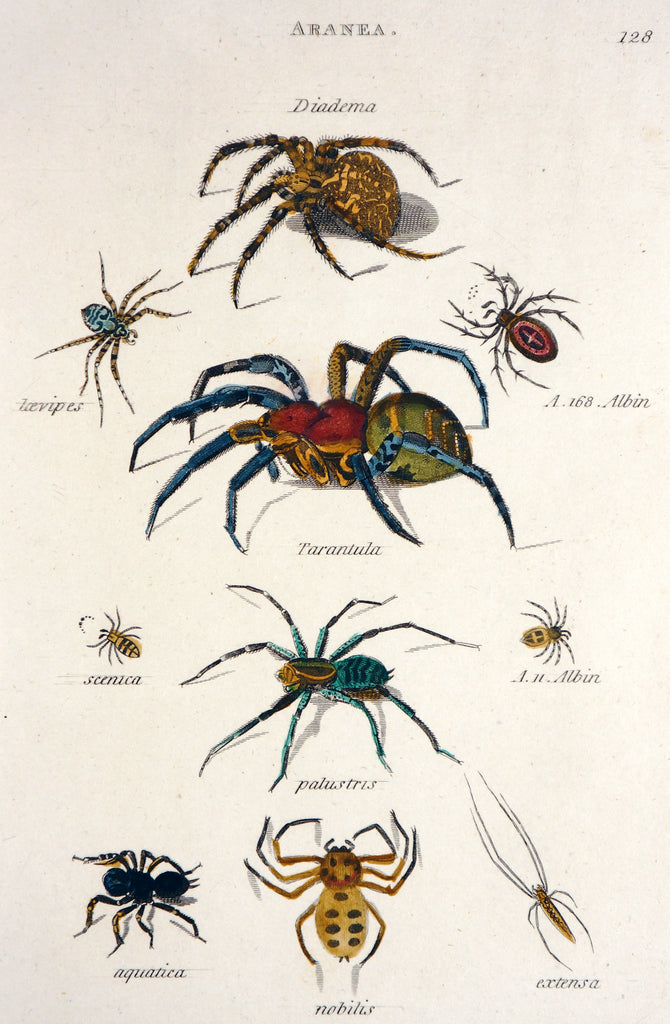 Aranea Spiders Tarantula Hand Colored Engraving (1805) - Original and Authentic Vintage Poster