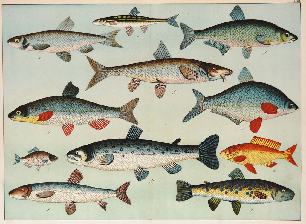 Trout, Salmon & Others, Antique Chromolithograph (1870) - Original and Authentic Vintage Poster
