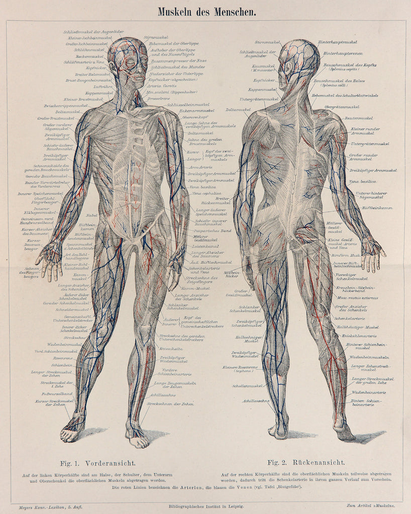 Human Muscular System, Anatomy, Medical Antique Engraving (1895) - Original and Authentic Vintage Poster