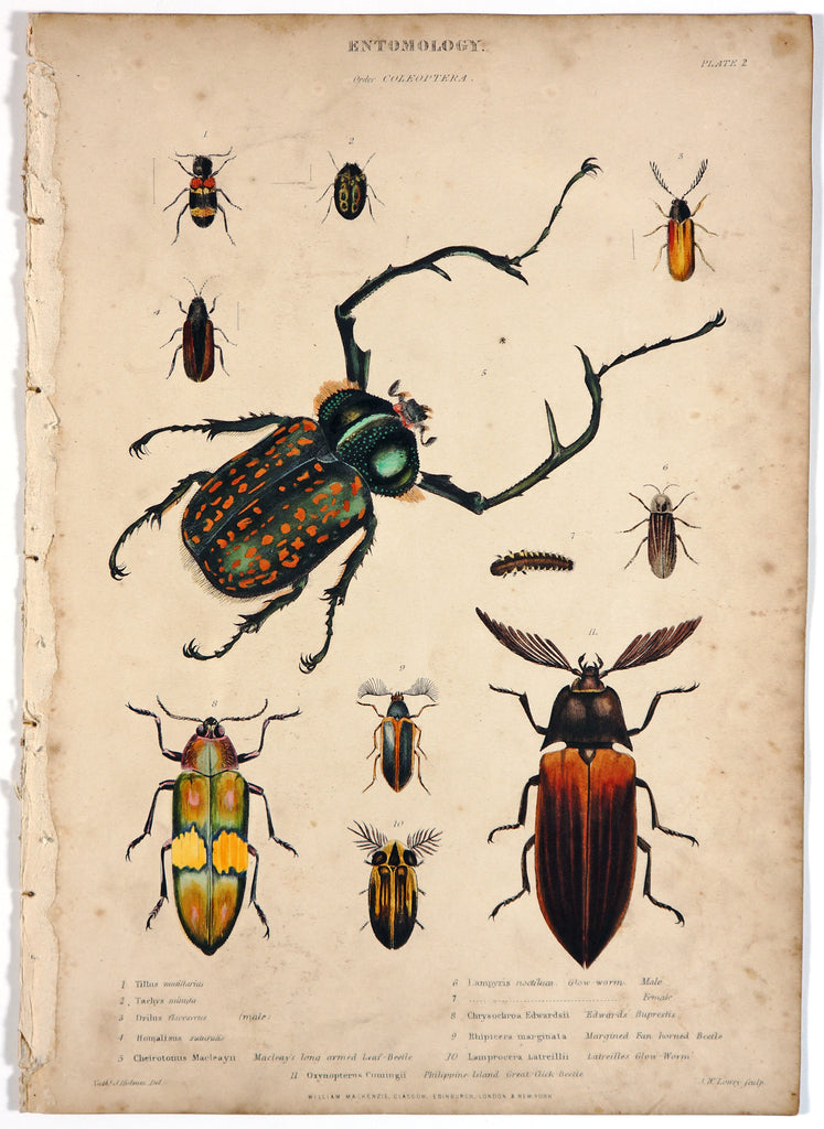 Long-Armed Leaf, Philippine Great Beetle & Others HC Engraving (1846) - Original and Authentic Vintage Poster