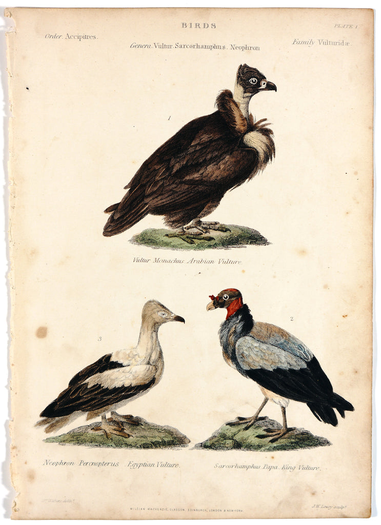 Arabian Vulture Egyptian Vulture King, Hand colored Engraving (1846) - Original and Authentic Vintage Poster