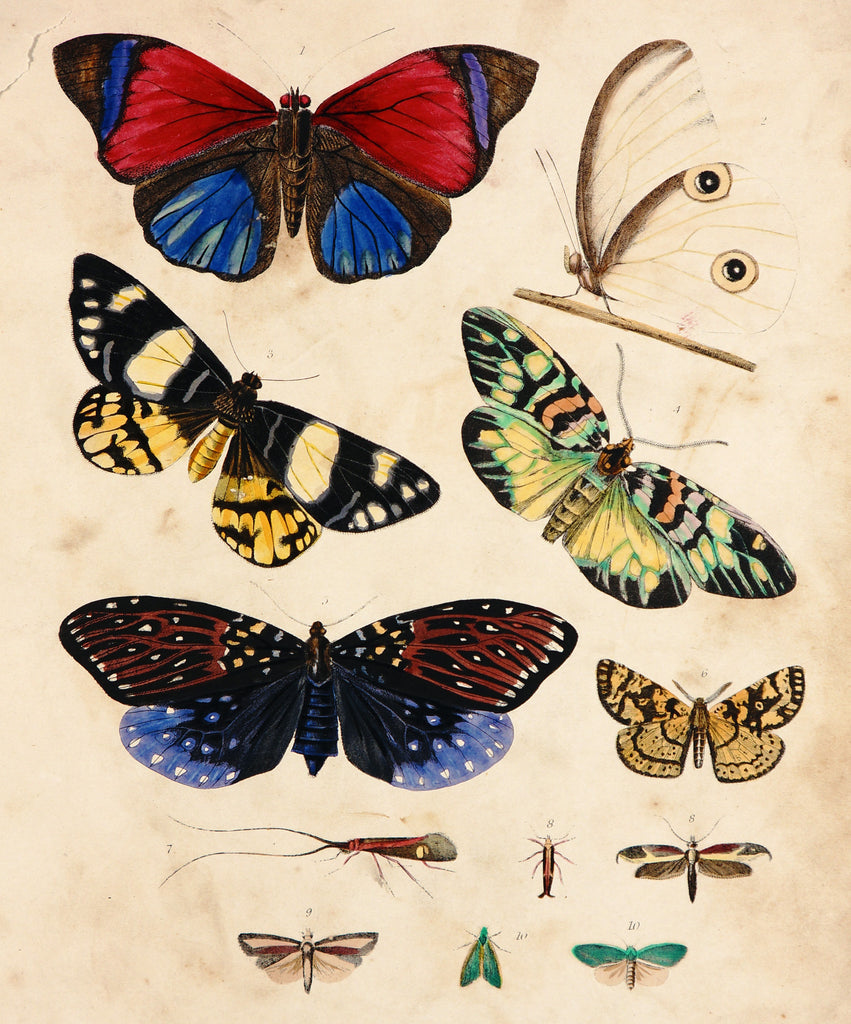 Annetta Amazon, Painter's Pallet & Other Butterflies Engraving (1846) - Original and Authentic Vintage Poster