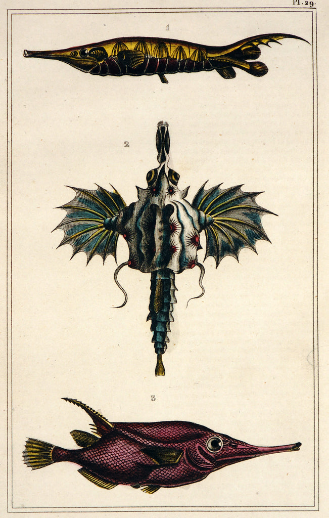 Dragon Fish, Longspine Snipefish, Hand Colored Engraving (1844) - Original and Authentic Vintage Poster